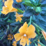 monkey flower_cropped